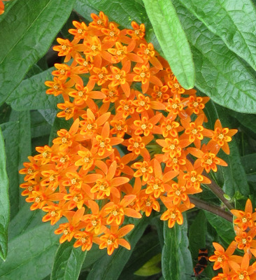 Butterfly Weed Butterfly Flower   - Asclepias tuberosa -  lg pot